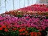 Geranium Blooms