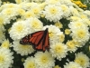 Monarchs & Mums