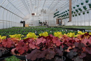 Heuchera and other perennials in the greenhouse